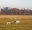 Deer's grazing